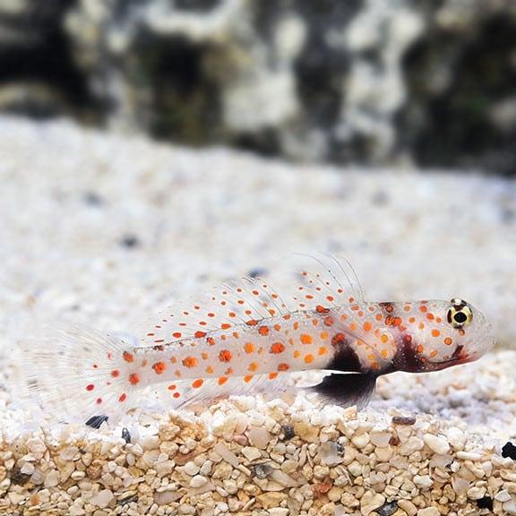 Orange Spot Goby